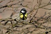 Great Tit Hiding Amongst The Twigs