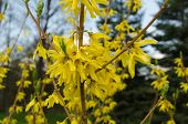 Decorative Shrub Forsythia  With Yellow Flowers