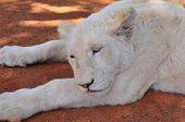 A rare white lion cub