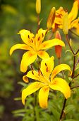 Lilium lancifolium flower close up background