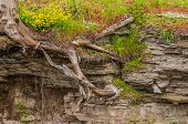 stock photo of shale  - Tree Roots growing In Shale with flowers - JPG