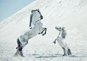 picture of arabian horse  - Two white horses - JPG