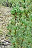 Siberian Dwarf Pine In Yakutian Taiga.