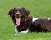 Small Muensterlander dog