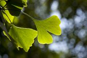 Ginkgo biloba leaf on a tree