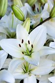 foto of white lily  - White lilies - JPG