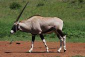 Gemsbok Antelope Buck