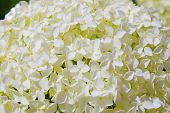 Beautiful White Hydrangea Flowers Annabelle In Bloom