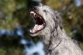 Irish Wolfhound Yawn