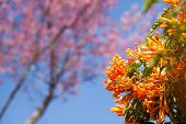 Orange Trumpet, Flame Flower, Fire-cracker Vine
