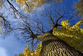 Huge tree from below