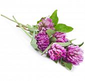 stock photo of red clover  - Closeup of red clover flower  - JPG