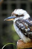 pic of blue winged kookaburra  - A close up shot of an Australian Kookaburra - JPG