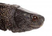 Turtle tortoise terrapin head macro