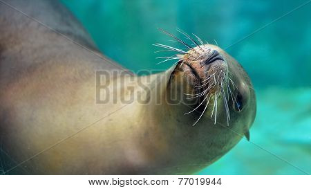 Постер, плакат: Curious Sea Lion, холст на подрамнике