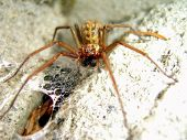 Wolf Spider