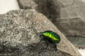 Glossy green beetle