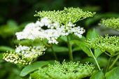 Flowers And Buds Of The Black Elder (sambucus)