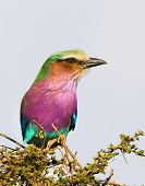 Lilac-breasted Roller, Serengeti National Park, Tanzania, Africa