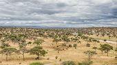 Elephants & Acacias, Tarangire National Park, Manyara, Tanzania, Africa