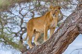 Lion, Tarangire National Park, Tanzania, Africa