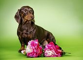 dog breed Dachshund colored background flowers