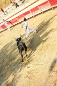 Course Camarguaise - The French Version Of Bullfighting