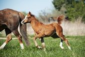 little pony foal with its mother