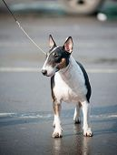 Miniature Tricolor Bull Terrier