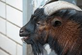 Sheep ram with large horns closeup portrait