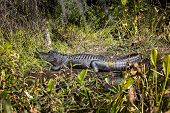 stock photo of prone  - An American Alligator lays prone on the shoreline collecting the warm morning sunlight at Wakulla Springs state park in Florida.