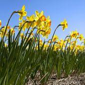 Narcisos en la Districs de flores de Holanda