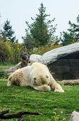 Polar Bear Embarrassed