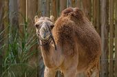 stock photo of humping  - A brown camel with one hump looks at the camera - JPG
