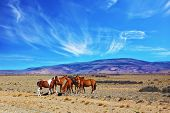 The herd of magnificent bay mustangs grazing in the Patagonian prairie on a summer day. Argentina