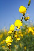 Yellow Frower