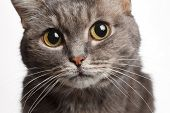 closeup gray cat with big round eyes