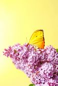 Beautiful butterfly sitting on lilac flowers on yellow background