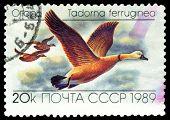 Vintage  Postage Stamp. Tadorna  Ferruginea.  Ducks.