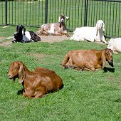 Goats And Goat Male On The Farm