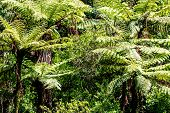 The New Zealand Native Bush. Fern Tree