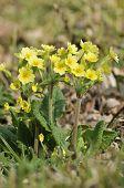 falsche Oxlip Primula X polyantha