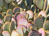 Opuntia Cacti With Buds And Spines