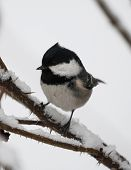 Coal tit standing on a branch