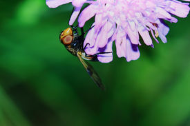 picture of six-petaled  - fly with huge eyes hung on the pink flower petals - JPG