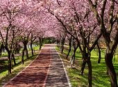 picture of row trees  - Rows of beautifully blossoming cherry trees on a river pathway - JPG