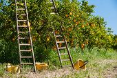 image of orange-tree  - Wooden ladders leaned on orange trees and yellow plastic pails on the ground during the harvest season - JPG