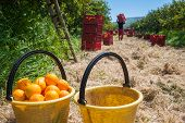 image of harvest  - Close up view of two yellow pails full of oranges with red fruit boxes and a picker in the background during harvest season in Sicily - JPG