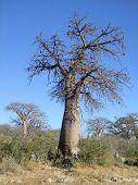 picture of baobab  - baobab tree at Kubu Island in the Makgadikgadi Pan area of Botswana Africa - JPG