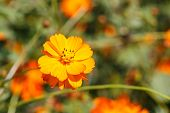 picture of cosmos  - Close up Cosmos flower in the field from Thailand  - JPG